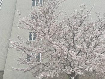 お花見と花粉
